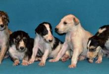 Inzercia psov: Barzoj - Ruský chrt - šteniatka s PP