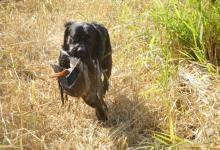 Inzercia psov: Labradorský retriever ke krytí