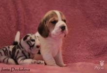 Inzercia psov: Štěňata beagle s PP