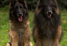 Inzercia psov: Belgický ovčák - Tervueren, štěňata s PP