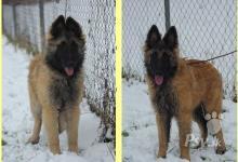 Inzercia psov: Štěňata Belgický ovčák Tervueren s PP