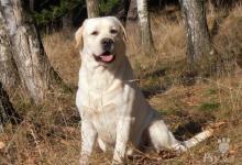 Inzercia psov: Labradorský retriever-nabídka krytí
