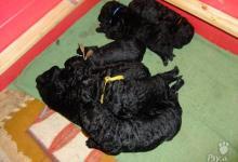 Inzercia psov: Curly coated retriever - jarní štěňátka
