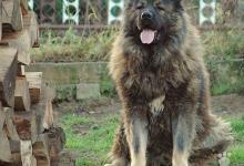 Inzercia psov: Kaukazský ovčiak - šteniatka.