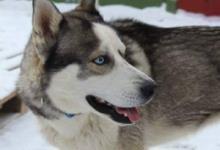 Inzercia psov: predám SH