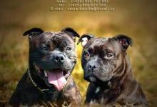 Inzercia psov: Stafordšírský bulterier