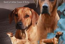 Inzercia psov: Rhodesian Ridgeback šteniatka