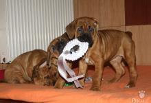 Inzercia psov: Puppies from World Winner and European Winner