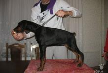 Inzercia psov: Doberman šteniatka