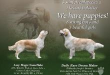 Inzercia psov: Zlatý Retriever