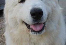 Inzercia psov: Pyrenejský horský pes s PP – unikátní krytí