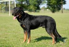 Inzercia psov: Beauceron - štěňátka na prodej výjimečné spojení