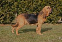 Inzercia psov: BLOODHOUND štenata