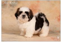 Inzercia psov: Shih Tzu šteniatka ( shi-tzu, si-cu, si-tzu)