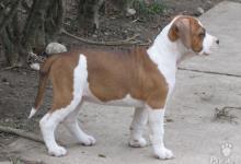 Inzercia psov: AMERICKÝ STAFORDŠÍRSKY TERIÉR s PP