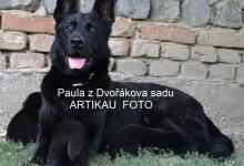 Inzercia psov: NEMECKÝ OVČIAK s PP 0908 10 55 10