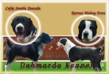 Inzercia psov: Prijímame rezerváciu na šteniatka SAO s PP!