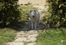 Inzercia psov: Darujem 1-ročnú fenku Nemecký špic - stredný