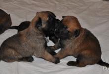 Inzercia psov: Belgický Ovčák Malinois