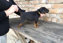 Inzercia psov: Predám šteniatka Jagdteriéra