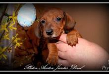 Inzercia psov: Šteniatka jazvečík trpasličí krátkosrstý s FCI PP