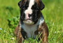 Inzercia psov: štěňata boxera s PP po velmi kvalitních rodičích