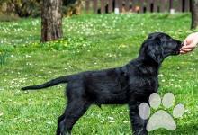 Inzercia psov: Štěně Flat Coated Retrievera s PP - černý pejsek
