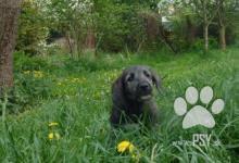 Inzercia psov: Irský vlkodav štěňátko - fenka s PP