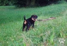 Inzercia psov: Rottweiler šteniatka s PP