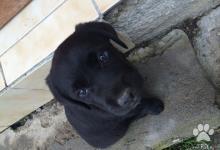 Inzercia psov: Krásne, krížené šteniatka labradora