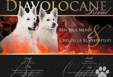 Inzercia psov: Bílý švýcarský ovčák, štěňátka s PP FCI