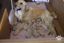 Inzercia psov: Šteniatka zlatého retrievera predaj