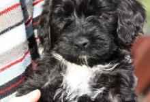 Inzercia psov: Portugalský vodní pes na prodej s PP