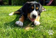 Inzercia psov: Štěně Velký Švýcarský Salašnický Pes