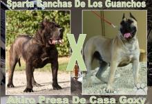 Inzercia psov: Dogo Canario šteňa NA PREDAJ !!!