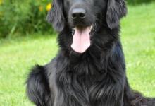 Inzercia psov: Hladkosrstý retriever s PP černý pejsek