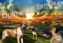 Inzercia psov: Puppy for sale Bullmastiff