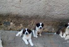 Inzercia psov: Bernardín