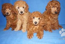 Inzercia psov: Pudl střední apricot a červený