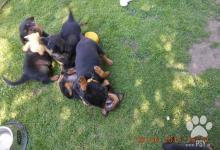 Inzercia psov: Nabízíme štěňátka RTW - rottweilerů