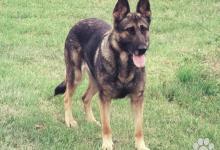 Inzercia psov: Chovna stanica Hari-Ambro, preda šteniatka NO s PP