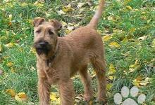Inzercia psov: Irský teriér - štěně pes s PP