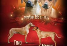 Inzercia psov: Minarbi kennel  rhodesian ridgeback