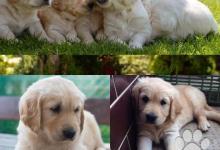 Inzercia psov: Predám labradorskeho retrievera/labrador