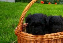 Inzercia psov: Puli na predaj
