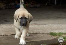 Inzercia psov: Anatolský pastierský pes - kangal- štěňata s PP