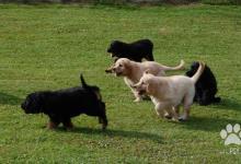 Inzercia psov: Hovawart - ideálny rodinný spoločník a strážca