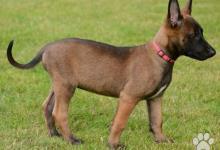 Inzercia psov: Šteniatka belgického ovčiaka - malinoisa