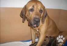 Inzercia psov: Brazilská Fila štěňata s PP autentických linií FCI