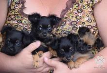 Inzercia psov: Mini pejsek kolem 2 kg
